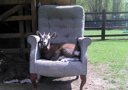 Goat on armchair by Terry Jones