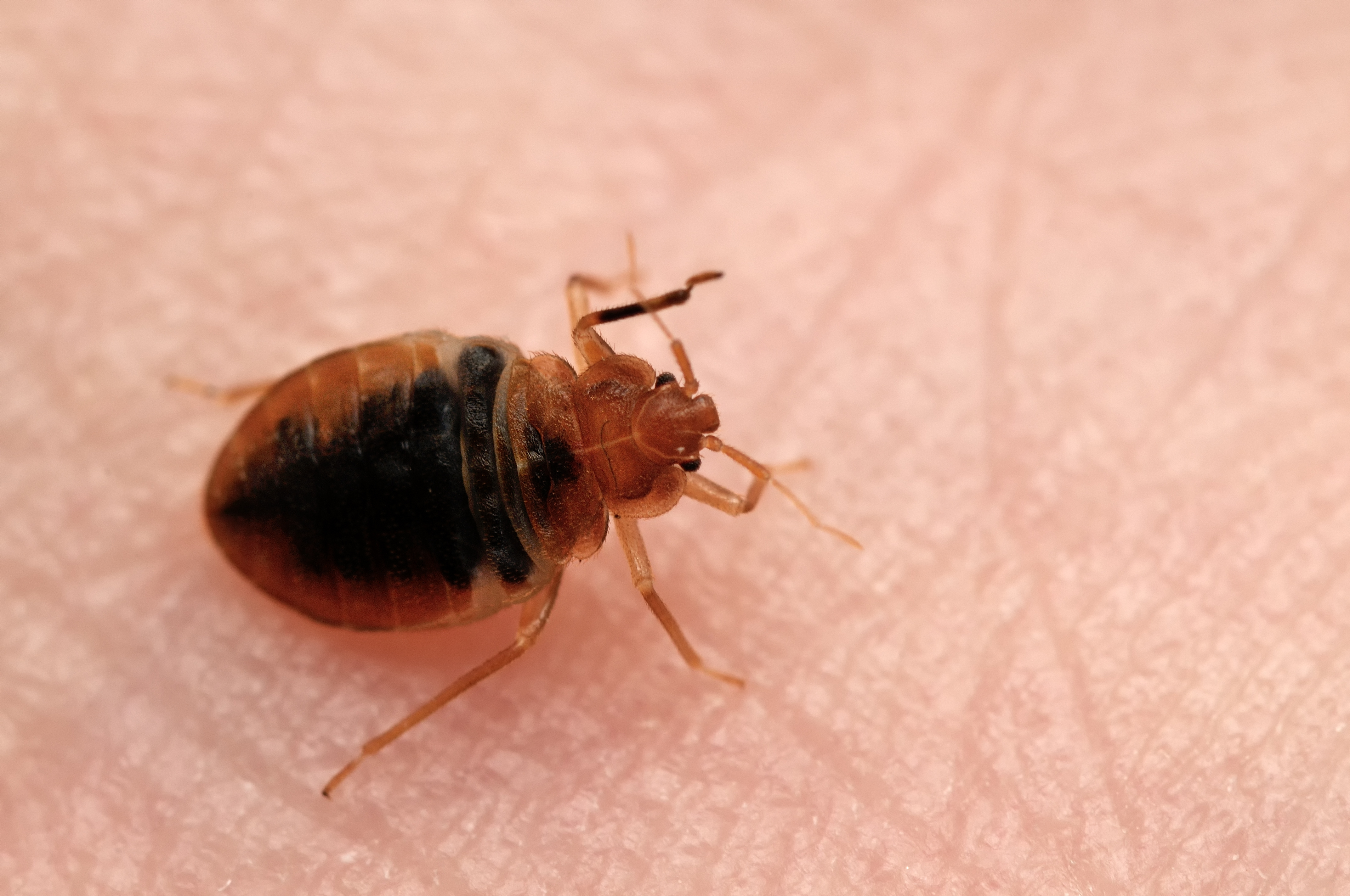 Bed bug on human skin.