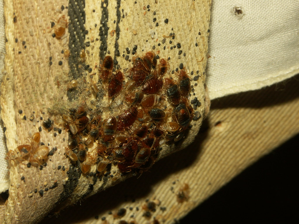 Bed bugs on furniture